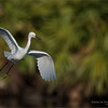 Snowy egret in Flight<br /> Raymond Barlow Photo Tours to USA - Wildlife and Nature<br /> <br /> ray@raymondbarlow.com<br /> Nikon D810 ,Nikkor 600 mm f/4 ED<br /> 1/6400s f/4.0 at 600.0mm iso500