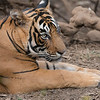 """Sultan (T-72)  -  the King of Ranthambhore NP.<br /> <br /> Ok, well I might seem a bit excted these days, but I just returned home from an amazing tour to see the wild tigers of India.  A superb tour.. all travel, accommodations, food, services, guides, drivers, parks were awesome. (planning my next visit now!)<br /> <br /> We saw this tiger a few times, he walked around like he owned the world.  Not at all shy, and not at all aggressive.  It looked like he enjoyed all the attention.  He might not be the king, but his is in my mind!<br /> <br /> A busy week here, 2 more raptor in flight programs Saturday and Sunday, should be fun!  Snowy owl and a golden eagle in Flight!<br /> <br /> Royal Bengal Tiger<br /> RJB India Tours<br />  <a href=""""http://www.raymondbarlow.com"""">http://www.raymondbarlow.com</a><br /> 1/160s f/5.6 at 360.0mm iso640"""