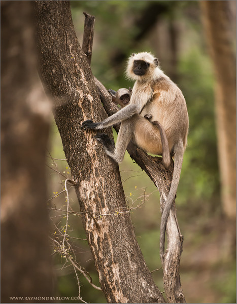 "Monkey Family<br /> RJB India Photo Tours<br /> <br />  <a href=""http://www.raymondbarlow.com"">http://www.raymondbarlow.com</a><br /> Nikon D800<br /> 1/1600s f/4.0 at 360.0mm iso3200"