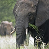 A family of Elephants were enjoying a nice meal.  With this shot, the soft overcast light was sweet, The second elephant in the background helps tell the story of their incredible peacefulness and beauty.<br /> <br /> Tanzania Tours