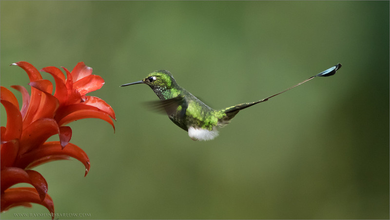 Male Booted racket-tail in Flight<br /> Raymond's Ecuador Photography Tours<br /> <br /> Ecuador has amazing natural beauty!<br /> <br /> ray@raymondbarlow.com<br /> Nikon D810 ,Nikkor 200-400mm f/4G ED-IF AF-S VR<br /> 1/1000s f/4.0 at 400.0mm iso2500