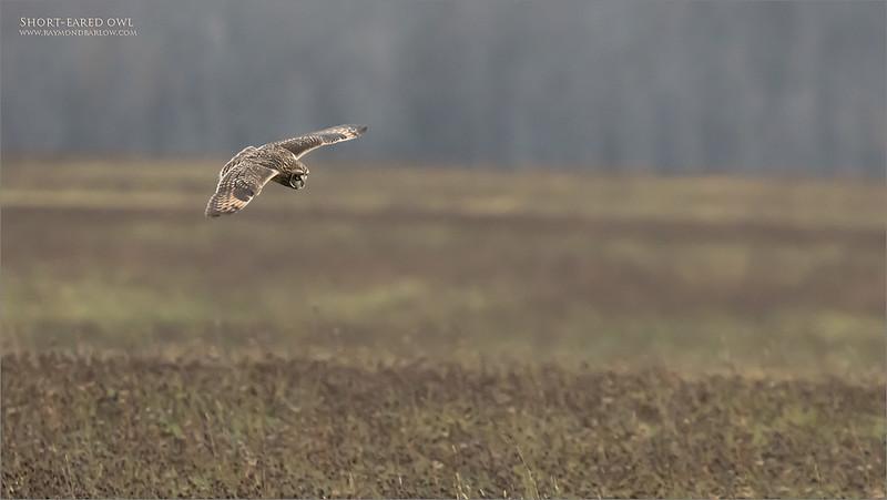 Short eared owl in Flight.<br /> Ontario, Canada.