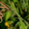 A9_02408 Praying Mantis 1200 web