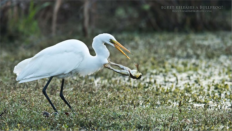 Let me GO!!!<br /> <br /> Great White Egret and a Bullfrog<br /> Orlando, Florida<br /> <br /> <br /> <br /> Let Me GO!!!<br /> <br /> (back to Florida!)<br /> Nikon D810 ,Nikkor 200-400mm f/4G ED-IF AF-S VR<br /> 1/640s f/5.6 at 600.0mm iso1000
