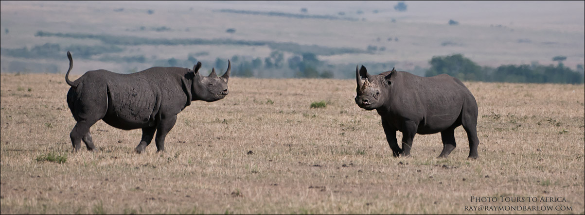 Black Rhino Faceoff<br /> Raymond Barlow Tours to Tanzania Wildlife and Nature<br /> <br /> ray@raymondbarlow.com<br /> Nikon D300 ,Nikkor 200-400mm f/4G ED-IF AF-S VR<br /> 1/2500s f/4.0 at 290.0mm iso250