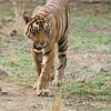 "Royal Bengal Tiger<br /> Raymond's India Photo Tours<br /> <br />  <a href=""http://www.raymondbarlow.com"">http://www.raymondbarlow.com</a><br /> ray@raymondbarlow.com<br /> Nikon D800 ,Nikkor 200-400mm f/4G ED-IF AF-S VR<br /> 1/1600s f/5.0 at 310.0mm iso2500"