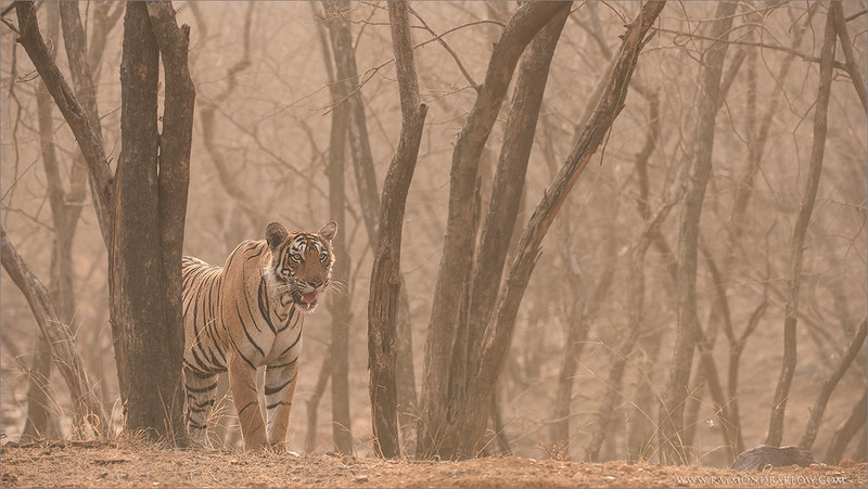 """Tiger Hunting for his Breakfast<br /> Raymond's Tiger Photography Tours in India<br /> <br /> Respect for wildlife can be a wonderful concept.<br /> <br />  <a href=""""http://www.raymondbarlow.com"""">http://www.raymondbarlow.com</a><br /> Nikon D810 ,Nikkor 200-400mm f/4G ED-IF AF-S VR<br /> 1/640s f/5.6 at 200.0mm iso1250"""