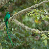 "The superb beauty of the ""Resplendent Quetzal!""<br /> <br /> Thanks to the good people in the forests and farms of Costa Rica for giving these birds their habitat.  The people protect the avocado trees that these birds feed on, and make very sure the environment is as good as it can be!  This area is soooo clean!<br /> <br /> I have friends that monitor up to 8 pairs of nesting Quetzals, so we have good sightings each time we visit.  They take such good care of me!<br /> <br /> After 17 completed photo tours to Costa Rica, I am proud to say congratulations to all of my connections for doing such a great job preserving nature.<br /> <br /> Thanks to you people here on Google for sharing my works, and all the kind comments!  There are no better rewards then having nice people appreciate my work.<br /> <br /> Still 2 spots open for this next tour April 30th!<br /> <br /> Best regards!<br /> <br /> Resplendent Quetzal<br /> RJB Colours of Costa Rica Tour<br />  <a href=""http://www.raymondbarlow.com"">http://www.raymondbarlow.com</a><br /> 1/60s f/4.0 at 400.0mm iso200"