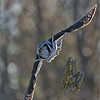 "Northern Hawk Owl in Flight 2<br /> Ontario, Canada<br /> <br />  <a href=""http://www.raymondbarlow.com"">http://www.raymondbarlow.com</a><br /> Sony Alpha A9,Sony 100-400GM<br /> 1/3200s f/5.6 at 400.0mm iso1250"