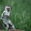 Vervet Monkey in Tanzania<br /> Tanzania, Africa<br /> <br /> ray@raymondbarlow.com<br /> Nikon D850 ,Nikkor 200-400mm f/4G ED-IF AF-S VR<br /> 1/1000s f/4.0 at 350.0mm iso1600