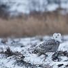 Snowy Owl Hunting the Frozen Fields<br /> Raymond's Ontario Nature Photography Tours<br /> <br /> ray@raymondbarlow.com<br /> Nikon D850 ,Nikkor 200-400mm f/4G ED-IF AF-S VR<br /> 1/1000s f/5.6 at 400.0mm iso250