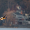 Something different?<br /> <br /> Mallard pair in Flight.<br /> <br /> These 2 flew right across the line of a nice house, so I thought it would make for an interesting scene.  Beautiful estate properties along the north shoreline of Burlington Bay.<br /> <br /> Just sharp enough on the birds, and just blurry enough on the background I think.  Normally I try as much as possible to avoid the hand of man in my nature images, so this is a rare sort of scene for me to share.<br /> <br /> Thanks for looking!