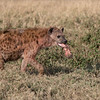 Spotted Hyena <br /> RJB Tanzania, Africa Tours<br /> <br /> ray@raymondbarlow.com<br /> 1/2000s f/4.0 at 210.0mm iso200