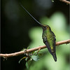 Sword-billed Hummingbird<br /> Raymond's Ecuador Photography Tours<br /> <br /> Nature is a Gift to the people of this world, Please Respect!<br /> <br /> ray@raymondbarlow.com<br /> Nikon D810 ,Nikkor 200-400mm f/4G ED-IF AF-S VR<br /> 1/800s f/4.0 at 400.0mm iso2500