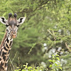 Giraffe in the Trees<br /> Raymond Barlow Photo Tours to Tanzania Wildlife and Nature<br /> <br /> Tanzania Tours<br /> ray@raymondbarlow.com<br /> Nikon D850 ,Nikkor 200-400mm f/4G ED-IF AF-S VR<br /> 1/160s f/5.0 at 400.0mm iso250