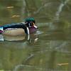 Male Wood Duck<br /> RJB Wild Birds of Ontario Workshops<br /> Nikon D800 ,Nikkor 200-400mm f/4G ED-IF AF-S VR<br /> 1/250s f/7.1 at 400.0mm iso1600