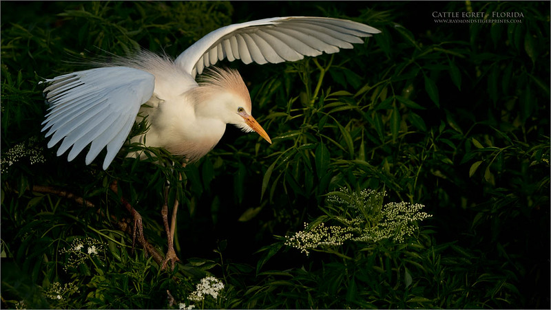 "Heading south once again, Harry and I will tour the grassy swamps and have our fill of the superb Florida Birds once again., back on Saturday, so take good care!<br /> <br /> Cattle Egret in Florida<br /> Raymond Barlow USA - Wildlife and Nature<br /> <br />  <a href=""http://www.raymondstigerprints.com"">http://www.raymondstigerprints.com</a><br /> Nikon D850 ,Nikkor 200-400mm f/4G ED-IF AF-S VR<br /> 1/3200s f/5.6 at 200.0mm iso640"