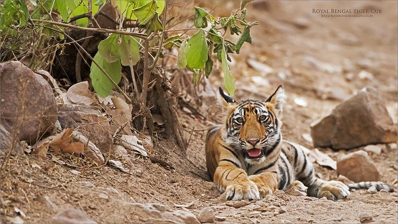 Royal Bengal Tige Cub<br /> India<br /> <br /> ray@raymondbarlow.com<br /> Nikon D810 ,Nikkor 200-400mm f/4G ED-IF AF-S VR<br /> 1/640s f/4.5 at 400.0mm iso2000