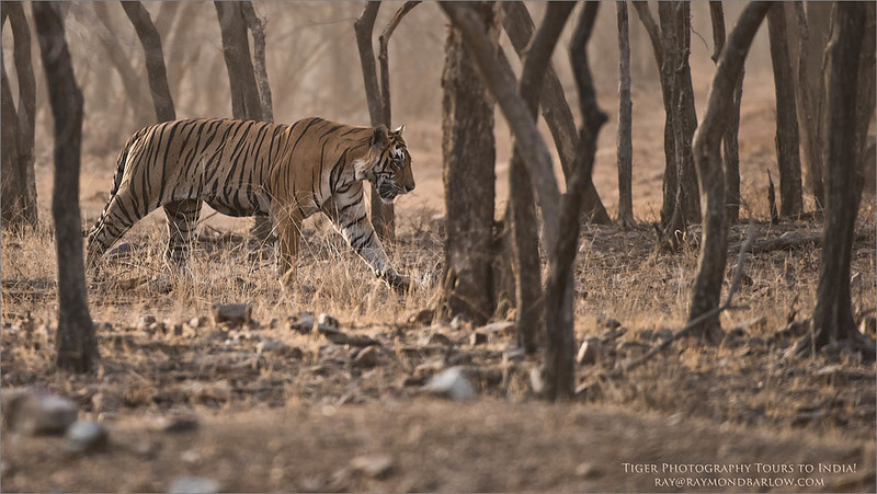 Royal Bengal Tiger Hunting<br /> Raymond's Wild Tiger Photography Tours<br /> <br /> India Photo Tours<br /> <br /> ray@raymondbarlow.com<br /> Nikon D810 ,Nikkor 200-400mm f/4G ED-IF AF-S VR<br /> 1/1000s f/4.0 at 400.0mm iso1000