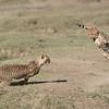 Cheetahs at Play Series 12 Shots  - Image 5 - 12