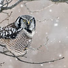 """An eye level perch with falling snow was the most awesome opportunity!<br /> <br /> Mitchell brown and I had some fun here in the chilly air north of Toronto.  What a cool<br /> photo opportunity! <br /> <br /> We head back up for Saturday.<br /> <br /> Northern Hawk Owl<br /> Ontario, Canada<br /> <br />  <a href=""""http://www.raymondbarlow.com"""">http://www.raymondbarlow.com</a><br /> Sony A7riv,Sony 100-400GM<br /> 1/320s f/5.6 at 400.0mm iso640"""