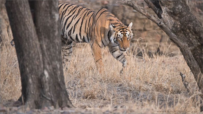 Tigress Arrowhead on the Prowl<br /> Raymond's Wild Tiger Photography Tours<br /> <br /> wildlife photo tour bookings - ray@raymondbarlow.com<br /> Nikon D810 ,Nikkor 200-400mm f/4G ED-IF AF-S VR<br /> 1/800s f/5.0 at 400.0mm iso1250