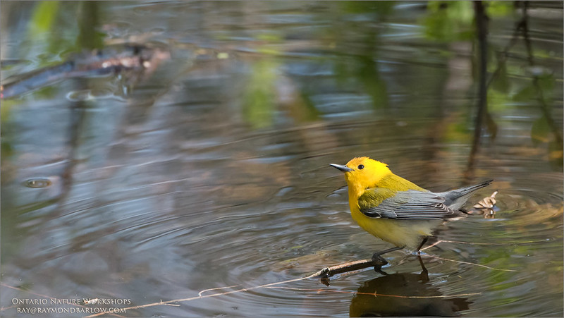 Prothonotary Warbler<br /> Raymond's Ontario Nature Photography Tours<br /> <br /> ray@raymondbarlow.com<br /> Nikon D810 ,Nikkor 200-400mm f/4G ED-IF AF-S VR<br /> 1/640s f/6.3 at 400.0mm iso1600