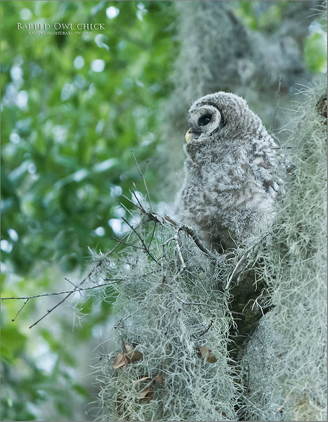 Thanks to buddy, and local Orlando Florida photographer Jack Rogers for helping us find both the Barred owl chick shown here, and the superb view of the Osprey nest!  <br /> <br /> Great fun shooting with Jack, and brilliant opportunities!<br /> <br /> Barred Owl Chick<br /> Raymond Barlow Photo Tours to USA - Wildlife and Nature<br /> <br /> ray@raymondbarlow.com<br /> Nikon D850 ,Nikkor 200-400mm f/4G ED-IF AF-S VR<br /> 1/400s f/4.0 at 350.0mm iso2000