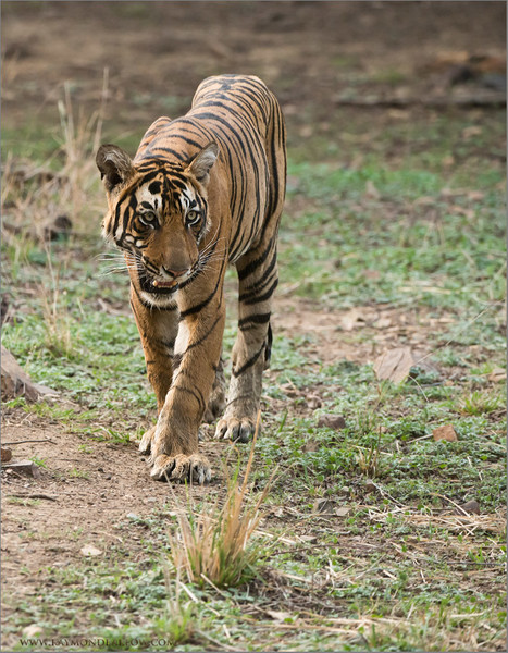 Tiger on the Prowl<br /> Raymond's India Photo Tours<br /> <br /> ray@raymondbarlow.com<br /> Nikon D800 ,Nikkor 200-400mm f/4G ED-IF AF-S VR<br /> 1/1600s f/5.0 at 310.0mm iso2500