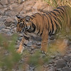 """A Tiger Cub:<br /> <br /> Still making new Tigers in India!<br /> <br /> Many reports suggest that the tiger is doomed, let's hope they are wrong!  There are many wild tigers still in India, and I sure hope the procreation continues.  While we were there for 2 weeks, we heard of sightings with mating going on, so our return tour in April maybe have some new life for us to photograph.<br /> <br /> This cub, and it's sibling were well protected by their mother hiding in the deep grass to stay out of sight, and to stay cool.  We did watch the mother trek away from the cubs to hunt, luckily I was able to catch this shot of her.<br /> <br /> <a href=""""https://plus.google.com/112400934564866517730/posts/EiqXH5RbojA"""">https://plus.google.com/112400934564866517730/posts/EiqXH5RbojA</a><br /> <br /> The other cub stayed in the tall grass out of view, but it was nice to see and know that the family was intact, and looking forward to populating Ranthambhore NP for as long as possible.<br /> <br /> Please do your best to help anti-poaching efforts in India.  Our safaris in this park support tiger preservation.. as they are not cheap! <br /> <br /> Join me in India!<br /> <br /> Royal Bengal Tiger<br /> RJB India Tours<br />  <a href=""""http://www.raymondbarlow.com"""">http://www.raymondbarlow.com</a><br /> 1/2500s f/4.0 at 400.0mm iso1600<br /> ray@raymondbarlow.com"""