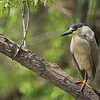 Black-crowned night heron<br /> Raymond's Ontario Nature Photography Tours<br /> <br /> Untouched wild birds seem to make the most natural images.<br /> <br /> ray@raymondbarlow.com<br /> Nikon D810 ,Nikkor 200-400mm f/4G ED-IF AF-S VR<br /> 1/250s f/4.0 at 400.0mm iso64