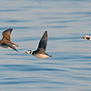 """Longtailed Ducks in Flight!<br /> Ontario, Canada<br /> <br />  <a href=""""http://www.raymondbarlow.com"""">http://www.raymondbarlow.com</a><br /> Sony Alpha α7R IV ,Sony 100-400GM<br /> 1/2000s f/5.6 at 400.0mm iso1250"""