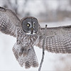 Great Grey Owl coming in for a Landing<br /> Raymond's Canada Nature Photography Tours<br /> Nikon D810 ,Nikkor 200-400mm f/4G ED-IF AF-S VR<br /> 1/2000s f/5.6 at 300.0mm iso1250