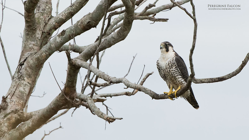 Peregrine Falcon in Florida<br /> Orlando, Florida<br /> <br /> This Peregrine has found a great home! Surrounded by 10's of thousands of bird in a huge swamp... life is good!<br /> <br /> ray@raymondbarlow.com<br /> Nikon D850 ,Nikkor 200-400mm f/4G ED-IF AF-S VR<br /> 1/320s f/6.3 at 400.0mm iso1000