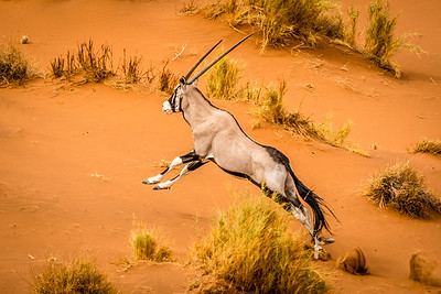 Oryx Leaping