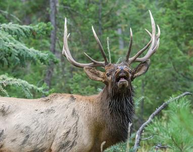 Young Elk Bugeling
