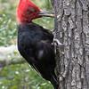 Magellanic Woodpecker With Grub