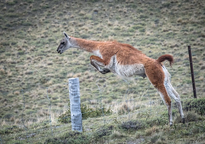 Guanaco Leaping Over Fence