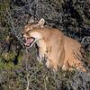 Femal Puma Yawning