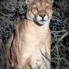 Puma Female on Watch