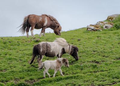 Three Shetland Ponies