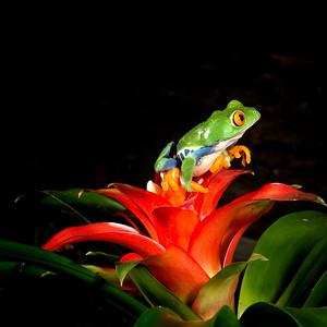 Red Eyed Tree Frog,   Agalychnis callidryas