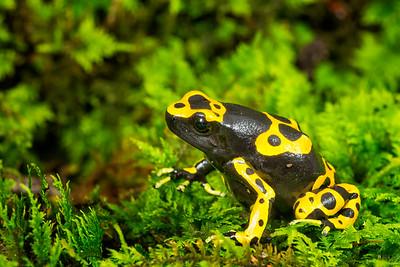 Bumble Bee Dart Frog,  Dendrobates leucomelas