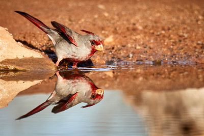 Pyrrhuloxia male bathing