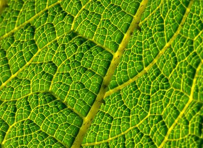 Leaf detail - Vancouver