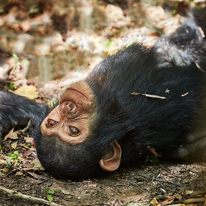 Young Chimps face during grooming