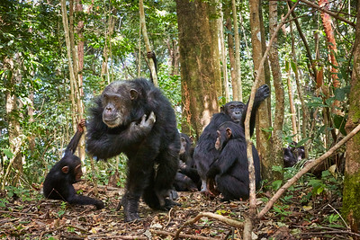 Bonobo and family group