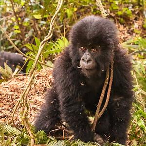 Rwanda Gorillas - Hirwa Group