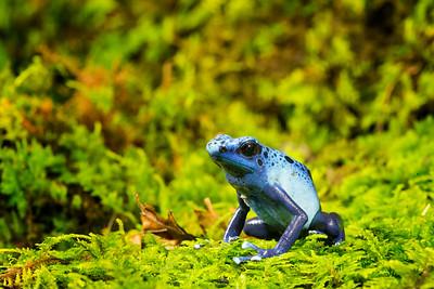 Dyeing Dart Frog,  Dendrobates tinctorius Azure