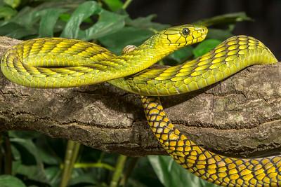 West African Green Mamba,  Dendroaspis viridis